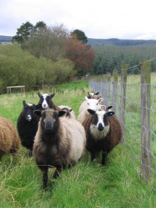 Shetland Sheep in Field
